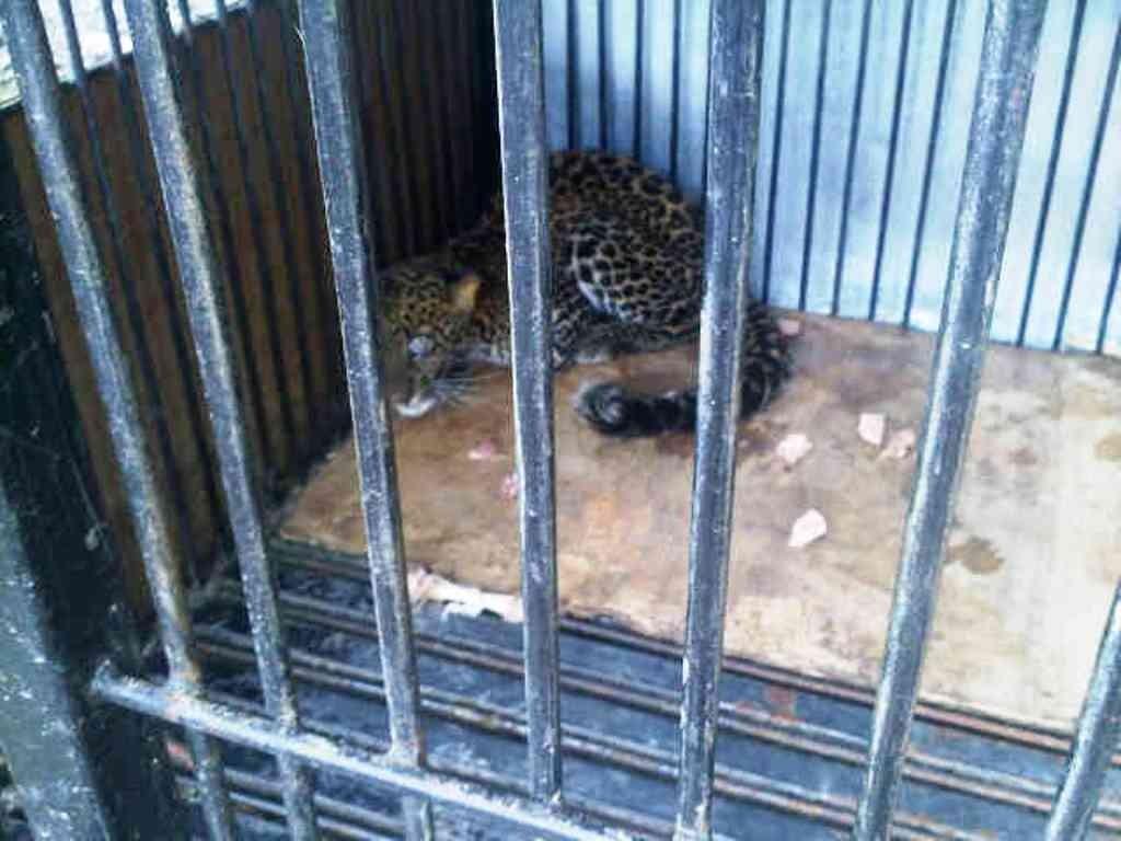DIAMANKAN : Macan tutul yang diperkirakan berusia satu tahun  dimasukan ke dalam kandang anjing yang terbuat dari besi.