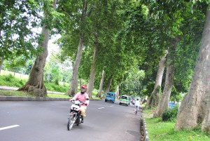 RAWAN: Sejumlah pohon di bilangan Ahmad Yani terdeteksi rawan tumbang. DKP berencana memangkas beberapa di antaranya dalam waktu dekat .
