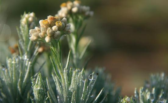 Bunga Edelweiss menjadi salah satu bunga favorit pada pendaki gunung. Kebakaran hebat di Puncak Gunung Ciremai meluluhlantahkan padang edelweiss di kawasan tersebut.