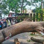 pohon-tumbang