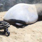 SELAMAT YA: Bayi tapir yang dilahirkan Tari di Taman Safari Indonesia (TSI) Cisarua.Ist