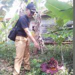 BAU: Aparatur pemerintahan Desa Langensari menunjukan bunga bangkai yang tumbuh di kebun milik Sartika.