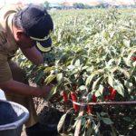 Walikota Cirebon, Nasrudin Azis, saat memetik cabai merah. Azis mengatakan akan menjaga lahan produktif yang menguntungkan persoalan agraria./Foto: Alwi.