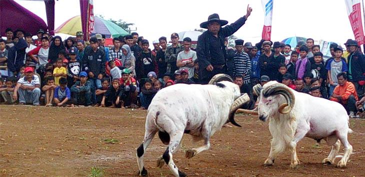 ADU DOMBA: Dua ekor domba saling beradu diawasi seorang wasit.