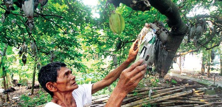 MEMBUNGKUS: Salah satu petani sedang membungkus belimbing di salah satu kebunnya di wilayah Kelurahan Tugu, Kecamatan Cimanggis. Ahmad Fachry/Radar Depok