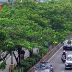 Pepohonan-di-Jalan-Margonda