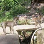 MERESAHKAN: Kehadiran monyet ekor panjang yang jumlahnya ribuan meresahkan warga Dusun Pon, Desa Cibeureum, Kecamatan Cilimus, Kabupaten Kuningan. FOTO: M TAUFIK/RADAR KUNINGAN
