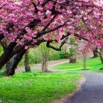 Taman-Bunga-Sakura-di-Bogor