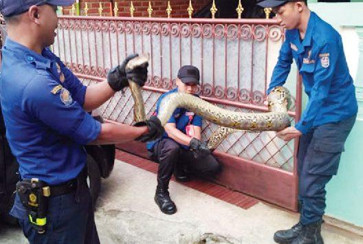 BERBAHAYA : Petugas Dinas Pemadam Kebakaran dan Penyelamatan Kota Depok saat melakukan evakuasi satu ekor ular jenis batik yang masuk kedalam rumah warga. Aji Hendro/Metro Depok