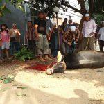 Distanikan Kota Bekasi Pastikan Semua Hewan Kurban Layak Konsumsi