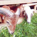 HEWAN KURBAN: Jelang Idul Adha sudah banyak pedagang hewan kurban musiman.