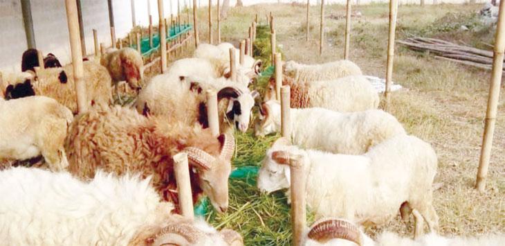 DIKELUHKAN: Lapak domba Haikal Cilamaya mengeluhkan belum adanya tim pemeriksa kesehatan hewan Kurban. FOTO:RUDI/RADAR KARAWANG