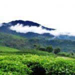 Perkebunan teh Maleber