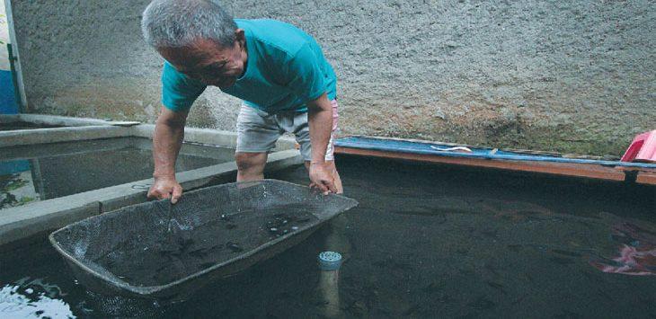 TARGET BENIH IKAN : Peternak ikan saat memilah ikan di kolam miliknya di kawasan Kelurahan Tanah Baru, Kecamatan Beji, kamis (8/11). Balai Benih Ikan (BBI) Kota Depok tahun ini menargetkan 100 ribu benih ikan perbulan sebagai salah satu upaya menggenjot produksi ikan untuk memenuhi permintaan dari kelompok pembudidaya ikan maupun masyarakat yang membutuhkan. Ahmad Fachry/Radar Depok