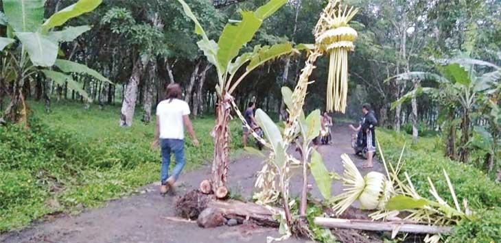 PROTES : Warga saat menanam pohon pisang di tengah jalan berlobang, tepatnya di Kampung Sukasirna, Desa Cikembar, Kecamatan Cikembar