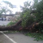 Pohon besar tumbang di jalan raya Lodari Ciledug Kabupaten Cirebon (kirno)