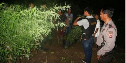 Polisi sedang mengamankan barang bukti ladang ganja di Kampung Ciputat Kecamatan Sukasari Purwakarta