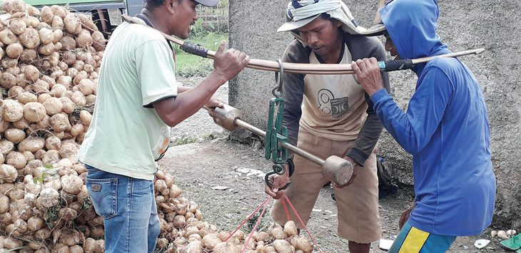 Hasil panen petani bengkuang di Kampung Kebonpedes, Desa Jambenenggang, Kecamatan Kebonpedes musim panen ini tidak maksimal akibat serangan ulat. Radar Sukabumi