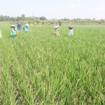 Sejumlah petani di Ligung mulai khawatir akan pasokan air pada musim kemarau ini. Ian/pojokjabar