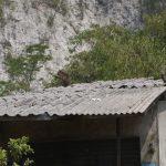 Monyet liar yang menyerbu Pasar Ciampea Baru (ist)