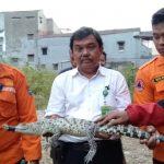Buaya muara yang diserahkan warga Loji Bogor Barat (adi)