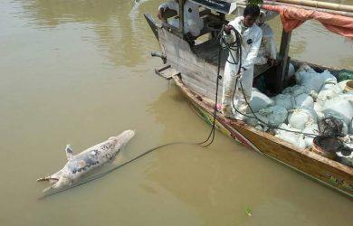 Lumba lumba yang mati di Laut Karawang sedang dievakuasi (ist)