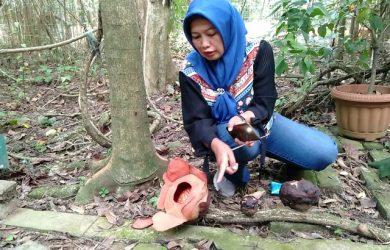 Rafflesia Patma Mekar di Kebun Raya Bogor ke-13 Kalinya Sejak 2010
