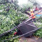 Pohon tumbang di Kebon Pedes yang menimpa seorang pengayuh becak (ist)