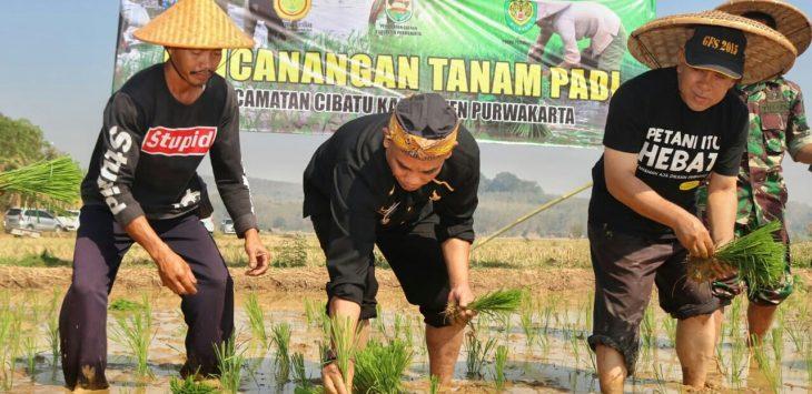 Unsur Muspida saat menanam padi bersama di kecamatan Cibatu purwakarta.