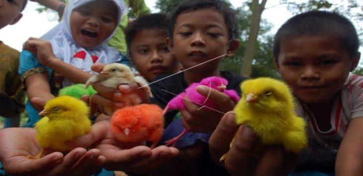 Pemberian Anak Ayam