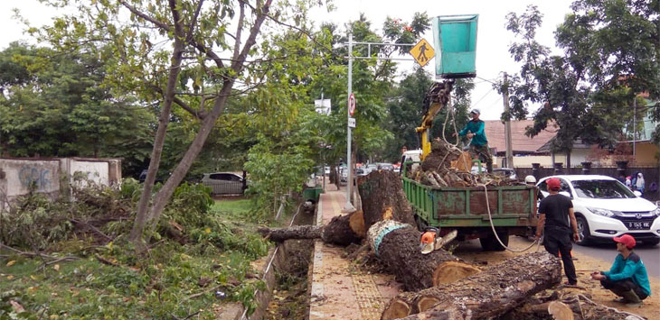 Petugas Konservasi Dinas Lingkungan Hidup (DLH) Kota Cimahi tebang pohon rawan roboh di atas trotoar Jalan Jenderal Sudirman, Kota Cimahi, Kamis (14/11/19).