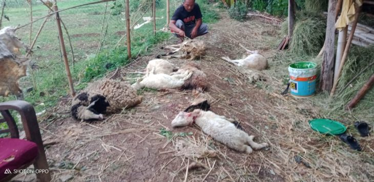Warga memeriksa kematian puluhan ternak yang mati secara misterius. ist