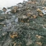 Kerang di pesisir Pantai Karawang