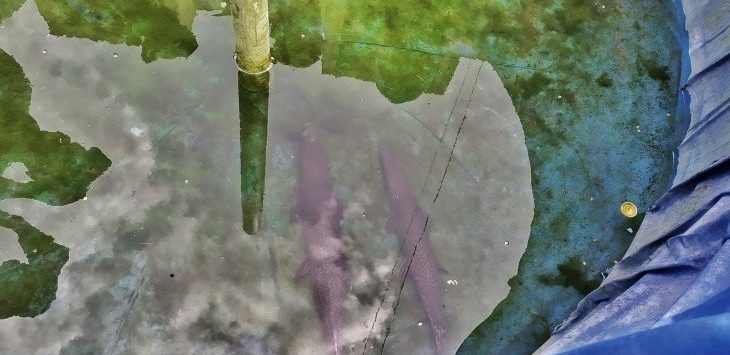 Ikan aligator yang menggigit balita di Lapas Perempuan Kelas II Sukamiskin, Jalan Pacuan Kuda, Kota Bandung, Senin (6/1/2020)./ Foto: Istimewa