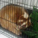 Kukang Jawa yang ditemukan di pemukiman warga Kabupaten Indramayu