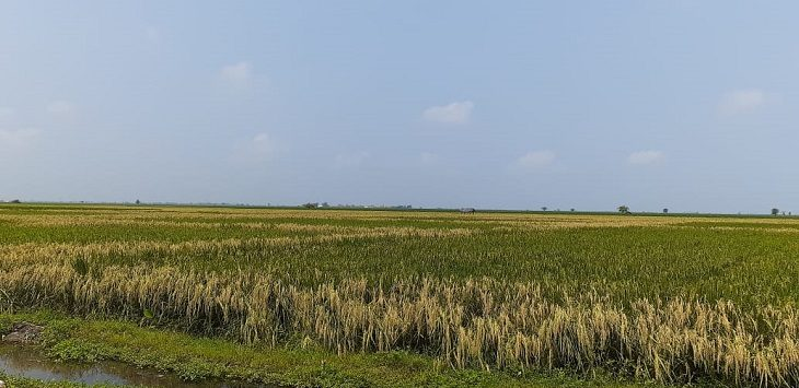 Ratusan hektare padi gagal panen akibat banjir di Karawang./Foto: Ega