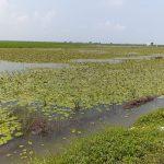 Ratusan hektare padi gagal panen akibat banjir di Karawang (ega)