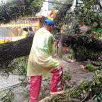 Pohon tumbang di Jalan Pajajaran Bogor Timur akibat angin kencang (adi)