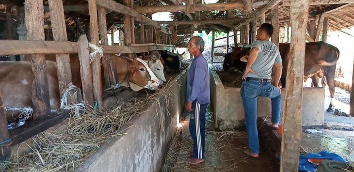 Penjualan sapi kurban di KTTS Padusan Desa Kubang menurun. Bima