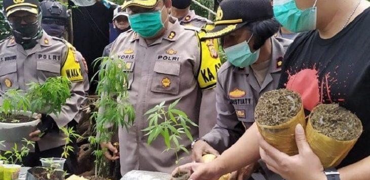 Kapolres Cimahi AKBP Yoris Marzuki menunjukan barang bukti tanaman ganja dan paket ganja siap edar di kawasan hutan kina Gunung Bukit Tunggul, Kecamatan Cilengkrang, Kabupaten Bandung, Minggu (12/7/2020)./Foto: Istimewa