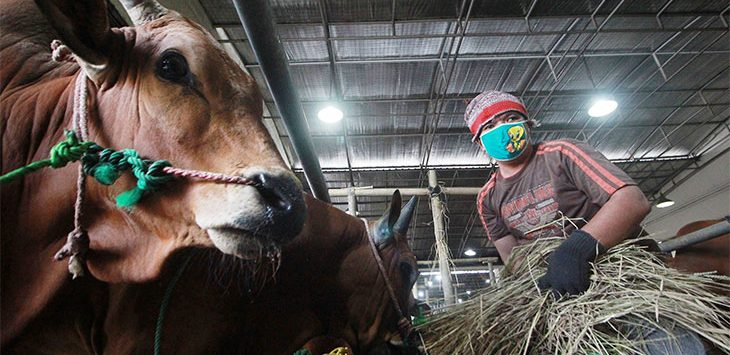 Pekerja memberi makan sapi hewan kurban di salah satu tempat pedagang hewan kurban, di Jalan Akses UI Kelurahan Tugu, Kecamatan Cimanggis.