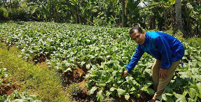 Ketua Kelompok Tani Jaya Restu Mekar, Yayan Suherman, saat menunjukan tanaman sawi di Kampung Sedong, RT 5/1, Desa Semplak, Kecamatan Sukalarang.